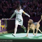 WKC2014_BestinHoundGroup_Bloodhound_Flessner'sInternationalS'Cess_02