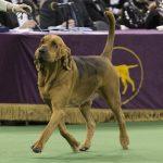 WKC2014_BestinHoundGroup_Bloodhound_Flessner'sInternationalS'Cess_03