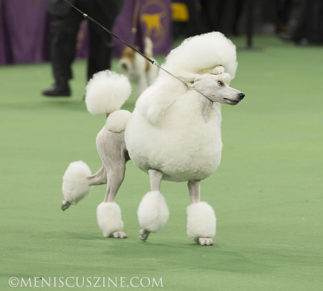 Ally (GCH Brighton Lakeridge Encore) during the Best in Show competition. (photo by Kwai Chan / Meniscus Magazine)