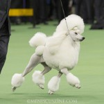 WKC2014_BestinNonSportingGroup_StandardPoodle_BrightonLakeridgeEncore_03