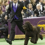 WKC2014_BestinSportingGroup_IrishWaterSpaniel_Whistlestop'sRileyOnFire_01