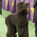 WKC2014_BestinSportingGroup_IrishWaterSpaniel_Whistlestop'sRileyOnFire_02